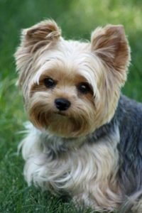 10 Dog Breeds Most Compatible With Yorkshire Terriers