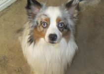 Aussie Pom Dog Breed Information – All You Need To Know