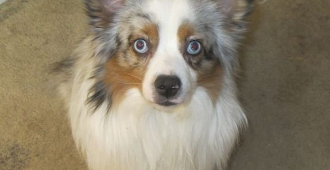 Aussie Pom Dog Breed Information All You Need To Know