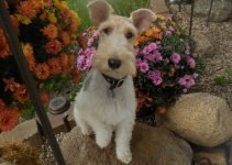 5 Best Dog Products for Welsh Wire Fox Terriers (Reviews Updated 2021)