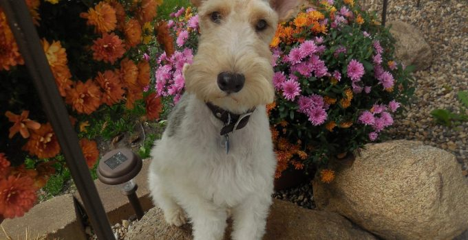 Best Dog Products For Welsh Wire Fox Terriers