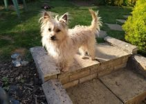 5 Best Dog Products for West Australian Terriers (Reviews Updated 2021)