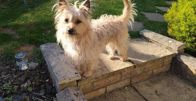 Best Dog Products For West Australian Terriers