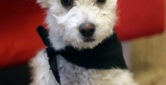 Best Dog Products For West Highland Corgis