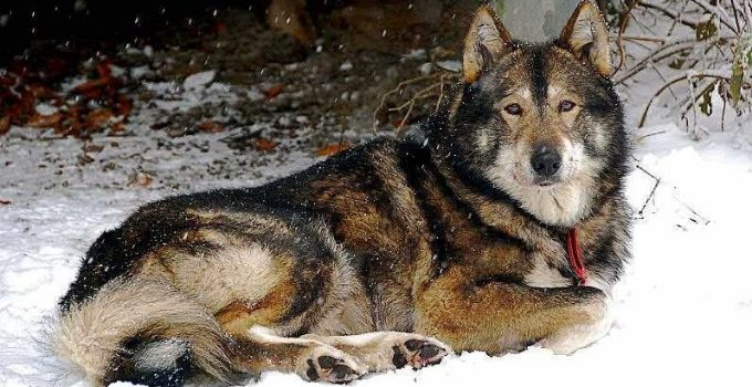 Best Dog Products For West Siberian Laikas