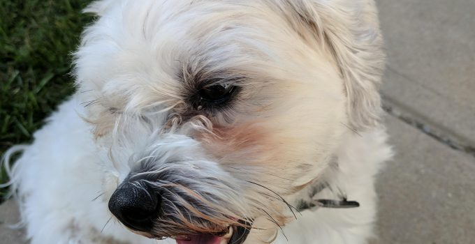 Best Dog Products For Westie Lasos