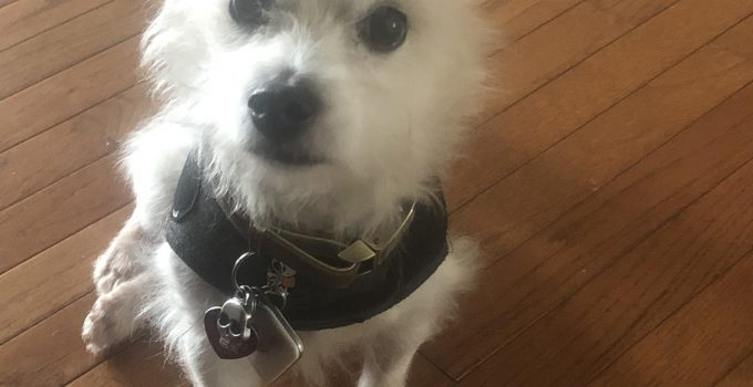 Best Dog Products For Westie Staffs