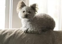 5 Best Dog Products for Westiepoos (Reviews Updated 2021)