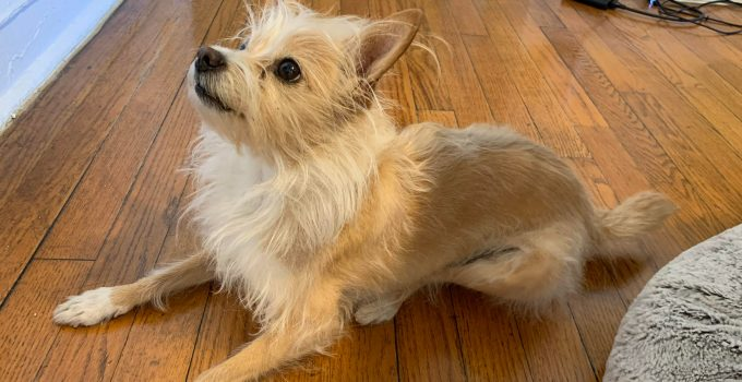 Best Dog Products For Wire Pom Terriers