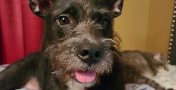 Best Dog Products For Wire Scottish Fox Terriers