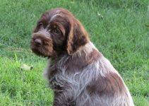 5 Best Dog Products for Wirehaired Pointing Griffondors (Reviews Updated 2021)