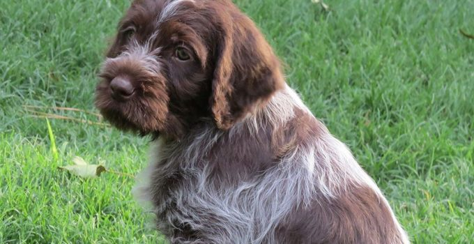 Best Dog Products For Wirehaired Pointing Griffondors