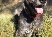 5 Best Dog Products for Wolfhound Danes (Reviews Updated 2021)