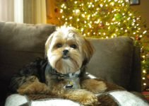 5 Best Dog Products for Yorkie-Apsos (Reviews Updated 2021)