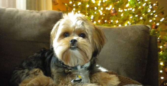 Best Dog Products For Yorkie Apsos