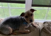 5 Best Dog Products for Yorkie Russells (Reviews Updated 2021)