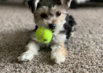 5 Best Dog Products for Yorkie-tons (Reviews Updated 2021)