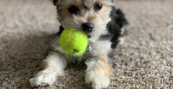 Best Dog Products For Yorkie Tons