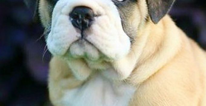 Bull Pug Dog Breed Information All You Need To Know