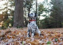 Bullmatian Dog Breed Information – All You Need To Know
