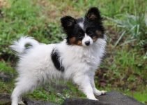 Cava-Lon Dog Breed Information – All You Need To Know