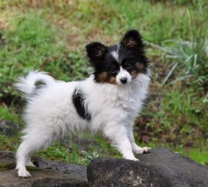 Cava Lon Dog Breed Information All You Need To Know
