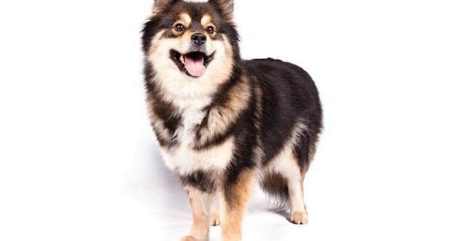 Finnish Lapphund Dog Breed Information – All You Need To Know