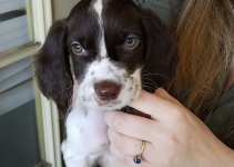 French Spaniel Dog Breed Information – All You Need To Know