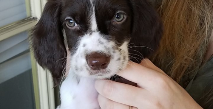 French Spaniel Dog Breed Information All You Need To Know
