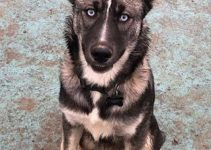 Gerberian Shepsky Dog Breed Information – All You Need To Know