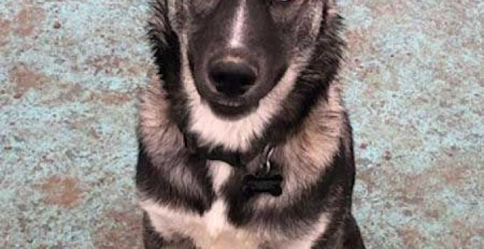 Gerberian Shepsky Dog Breed Information All You Need To Know