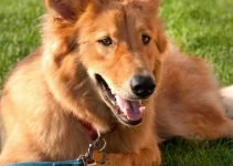 Goberian Dog Breed Information – All You Need To Know