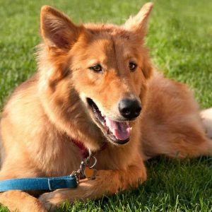 Goberian Dog Breed Information All You Need To Know