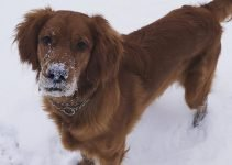Golden Irish Dog Breed Information – All You Need To Know