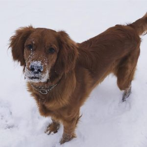 Golden Irish Dog Breed Information All You Need To Know