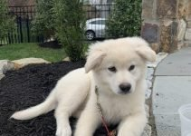Golden Sammy Dog Breed Information – All You Need To Know