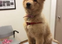 Golden Shepherd Dog Breed Information – All You Need To Know