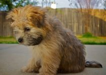 Goldenshire Dog Breed Information – All You Need To Know