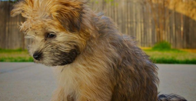 Goldenshire Dog Breed Information All You Need To Know