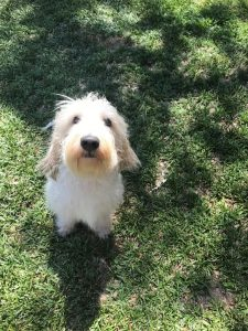 Grand Basset Griffon Vendeen Dog Breed Information All You Need To Know