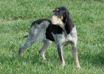 Grand bleu de Gascogne Dog Breed Information – All You Need To Know