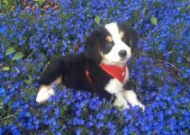 Great Bernese Dog Breed Information – All You Need To Know