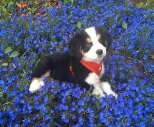 Great Bernese Dog Breed Information All You Need To Know