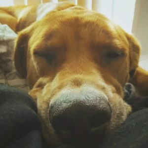 Great Golden Dane Dog Breed Information All You Need To Know