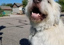 Great Wolfhound Dog Breed Information – All You Need To Know