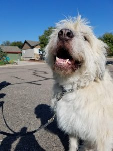 Great Wolfhound Dog Breed Information All You Need To Know