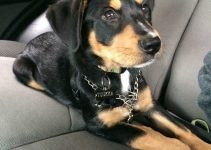 Greater Swiss Rottweiler Dog Breed Information – All You Need To Know