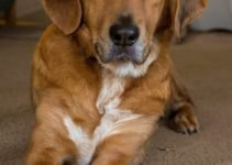 Greater Welsh Corswiss Dog Breed Information – All You Need To Know