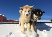 Greenland Dog Breed Information – All You Need To Know