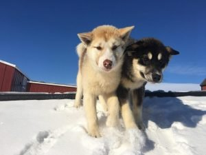 Greenland Dog Breed Information All You Need To Know